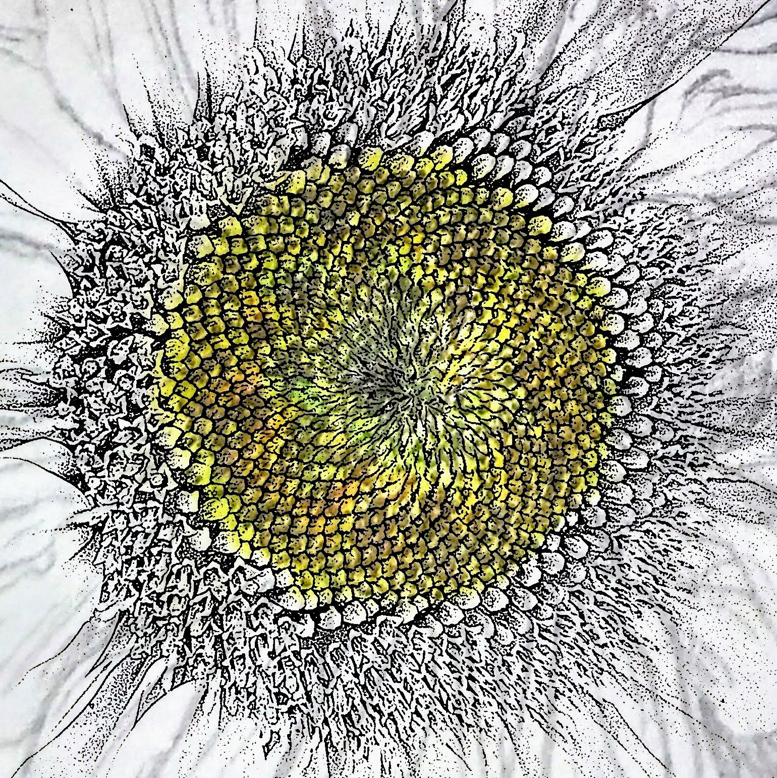 botanical artist stephey sunlight pen and ink drawing