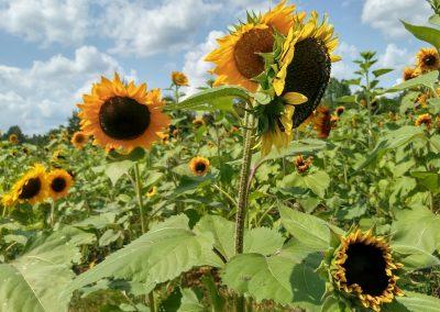 botanical artist stephey sunflowers
