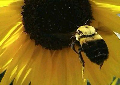 bumble bee pollinator garden