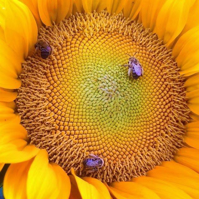 pollinator garden sunflower bees