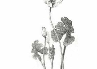 botanical artist stephey baker bloodroot