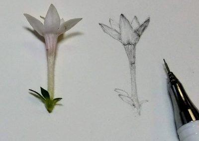 pollinator garden pentas flower